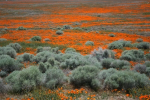 Antelope Valley Poppy Reserve 2010