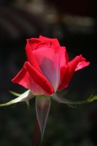 Rose #1 Photograph
