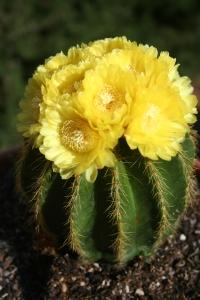 Cactus Flower #1